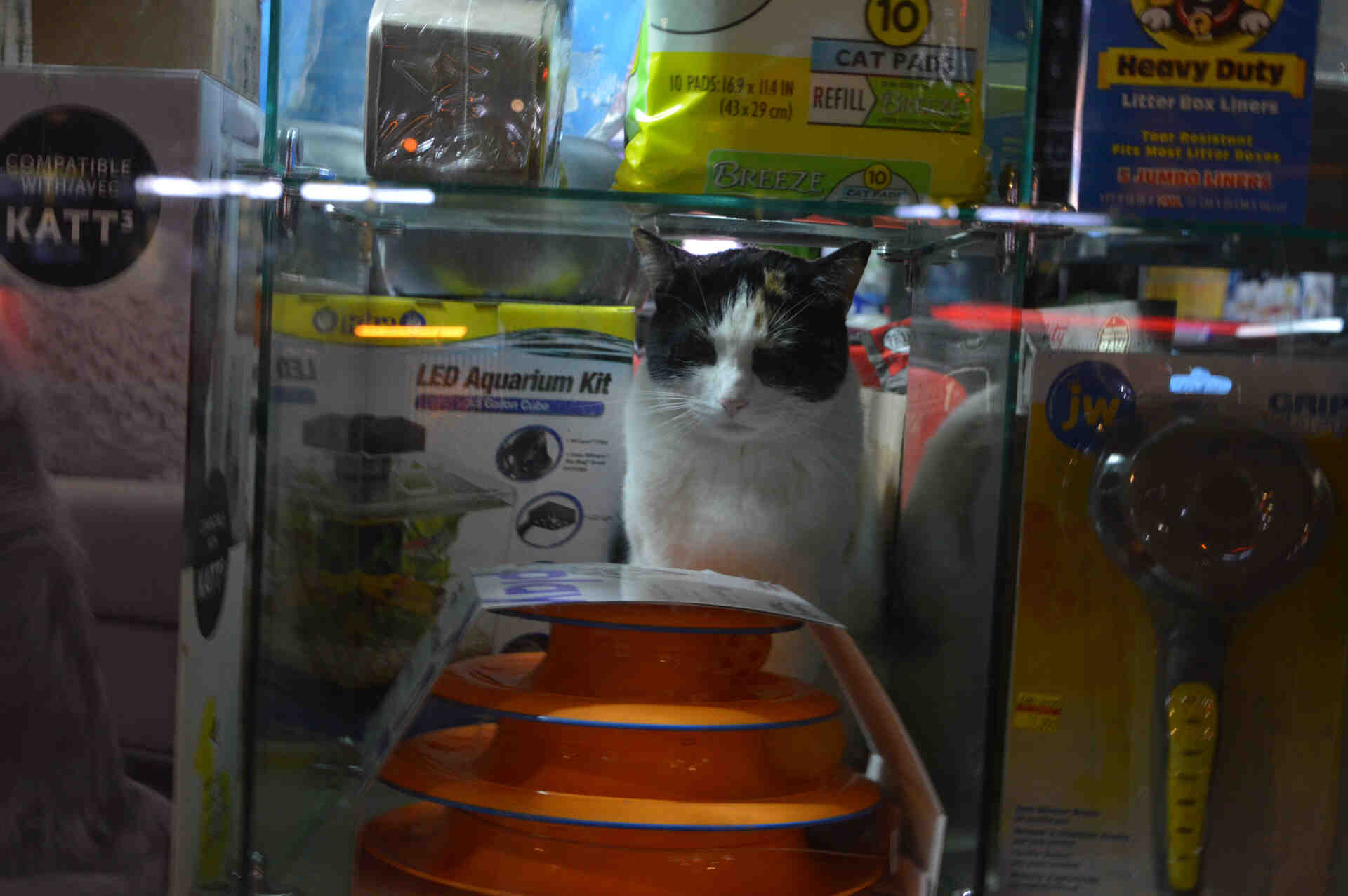 Pet shop cat looking out the windows in NYC